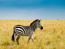 Burchells zebra. On savannah plains of masai Mara national reserve kenya Stock Photo