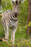 Burchells Zebra Lizenzfreies Stockfoto