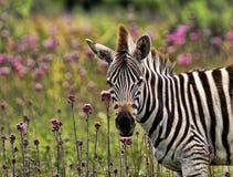 burchells zebra Obrazy Royalty Free