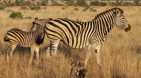 Burchells Zebra Stockbild