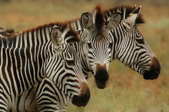 Burchells Zebra. 3 Burchells Zebras. The photo is taken in the South Luangwa National Park in Zambia Stock Image