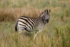 Burchells zebra Stock Photos