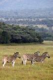 Burchells Zebra Lizenzfreie Stockbilder