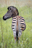 Burchells zebra Royalty Free Stock Photos