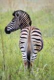Burchells zebra Royalty Free Stock Photos