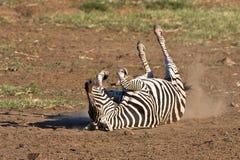 Burchells Zebra. Rolling in the dusty sand of Pilanesberg Stock Images