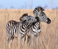 Burchells Zebra in Afrika Lizenzfreie Stockbilder