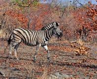 Burchells Zebra in Afrika Lizenzfreie Stockfotos