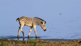 Burchell's zebra baby in the riverbank in Kruger National park Royalty Free Stock Photos