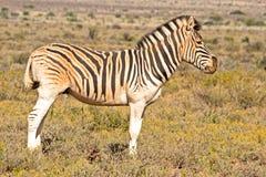 Burchells-Zebra bedeckt im roten Staub Lizenzfreie Stockbilder
