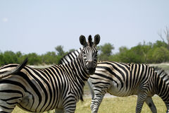 Burchells zebra Close by. Burchells zebra herd, plains game, in Botswana,Africa for the big cats Royalty Free Stock Images