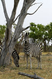 Burchells zebra Close by. Burchells zebra herd, plains game, in Botswana,Africa for the big cats Stock Images