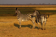 Burchells zebra Close by. Burchells zebra herd, plains game, in Botswana,Africa for the big cats Stock Photography