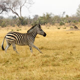 Burchells zebra Close by. Burchells zebra, plains game, in Botswana,Africa for the big cats Stock Image