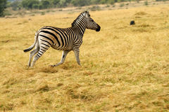 Burchells zebra Close by. Burchells zebra, plains game, in Botswana,Africa for the big cats Royalty Free Stock Photos