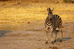Burchells zebra Close by Royalty Free Stock Image