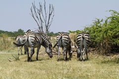 Burchells zebra Close by Rear view. Burchells zebra herd, plains game, in Botswana,Africa for the big cats Royalty Free Stock Photos
