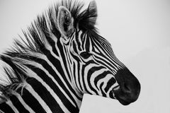 Burchells Zebra. Close-up of a Burchells Zebra captured in a game reserve in South Africa Stock Image