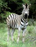 Burchells Zebra, das im Hluhluwe-Umfoloziwildparkabschnitt aufwirft Lizenzfreies Stockfoto