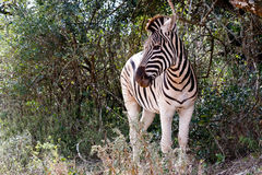 Burchells-Zebra, das nach links schaut stockfoto