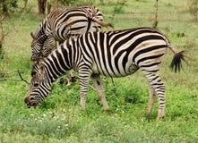 Burchells Zebra in der afrikanischen Savanne lizenzfreie stockfotos