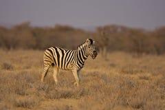 Burchells Zebra, der auf dem Gebiet geht Lizenzfreie Stockfotos