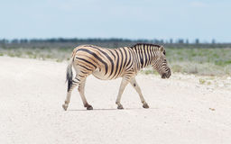 Burchells zebra (Equus Burchelli) crossing gravel road Royalty Free Stock Image