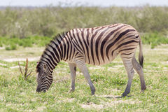 Burchells zebra (Equus Burchelli) Royalty Free Stock Photos