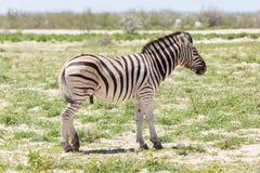 Burchells zebra (Equus Burchelli) Stock Image