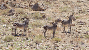 Burchells zebra (Equus Burchelli) Stock Photography