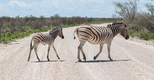Burchells zebra (Equus Burchelli) with young crossing gravel road royalty free stock photo