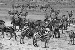 Burchells zebra (Equus quagga burchellii). Before crossing a river in Kruger National Park,  South Africa. Image in Black and White Royalty Free Stock Image