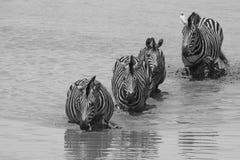 Burchells zebra (Equus quagga burchellii). Four Burchells zebra (Equus quagga burchellii) crossing a river in Kruger National Park,  South Africa. Image in Black Royalty Free Stock Image