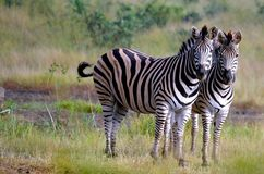 Burchells zebra (Equus quagga burchellii). Stock Photography