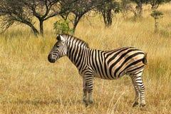 Burchells zebra (Equus quagga burchellii). Royalty Free Stock Image