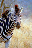 Burchells zebra (Equus quagga burchellii) Royalty Free Stock Photos