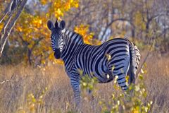 Burchells zebra (Equus quagga burchellii) Royalty Free Stock Photos