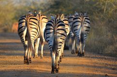 Burchells zebra (Equus quagga burchellii). Royalty Free Stock Images