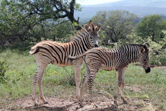 Burchells zebra (Equus quagga burchellii) Stock Photos
