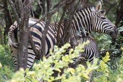 Burchells zebra Equus quagga Stock Images