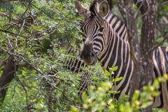 Burchells zebra Equus quagga Stock Photos