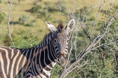 Burchells zebra Equus quagga. Closup photograph Stock Photos