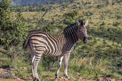 Burchells zebra Equus quagga Royalty Free Stock Image