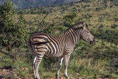 Burchells zebra Equus quagga Stock Photo