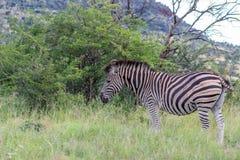 Burchells zebra Equus quagga. In Marakele national park Stock Photography