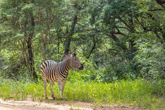 Burchells zebra Equus quagga Stock Photography