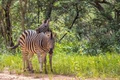 Burchells zebra Equus quagga Royalty Free Stock Photo
