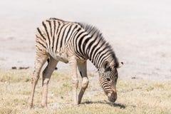 Burchells zebra foal, Equus quagga burchellii, grazing. A Burchells zebra foal, Equus quagga burchellii, grazing in Northern Namibia Royalty Free Stock Image
