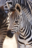 Burchells Zebra foal with mother Royalty Free Stock Photography