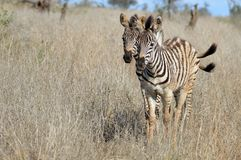 Burchells zebra foals (Equus quagga burchellii) Stock Photo